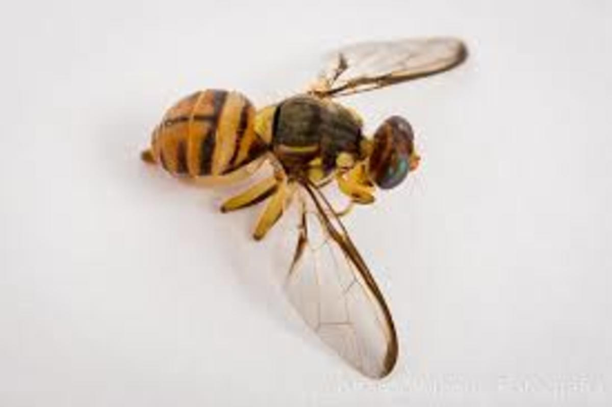 The Chinese citrus fly
