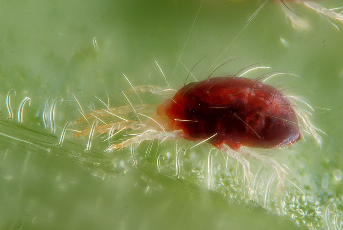 Female of the red form of the spider mite