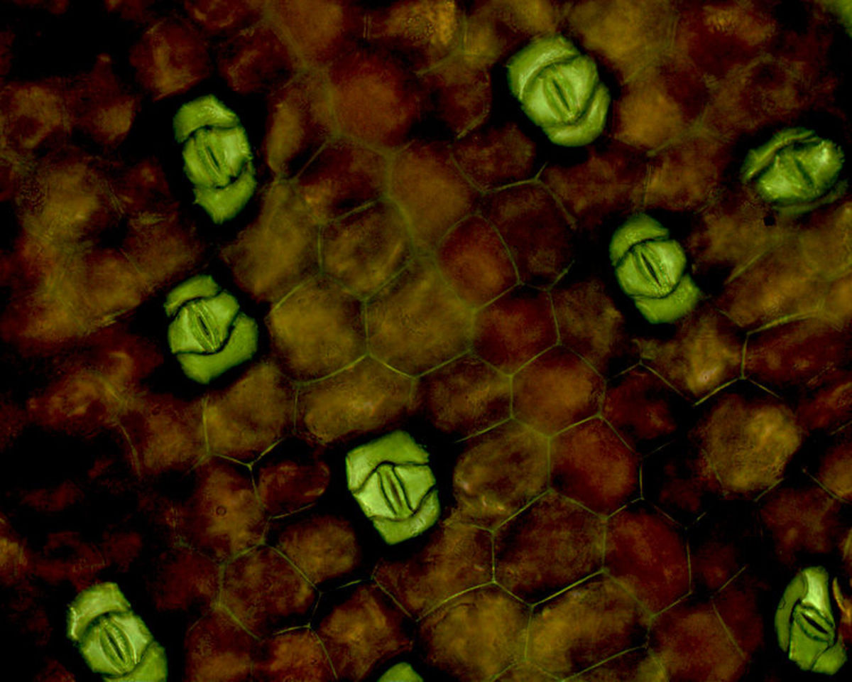 The microscopic view of leaf, the red epidermis and green tissue locates the stomata.