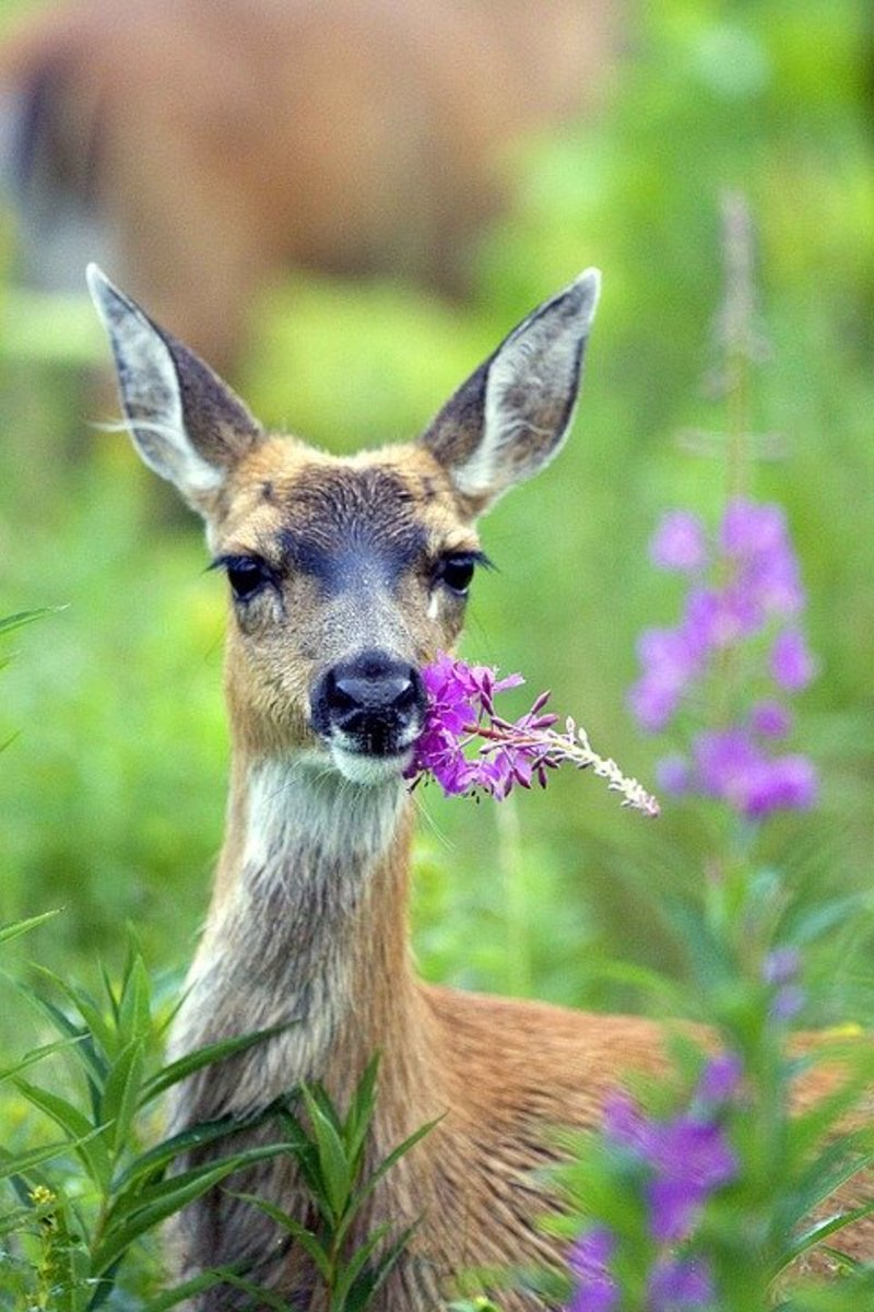 A deer munching on the Yukon's Territorial flower, the fireweed.