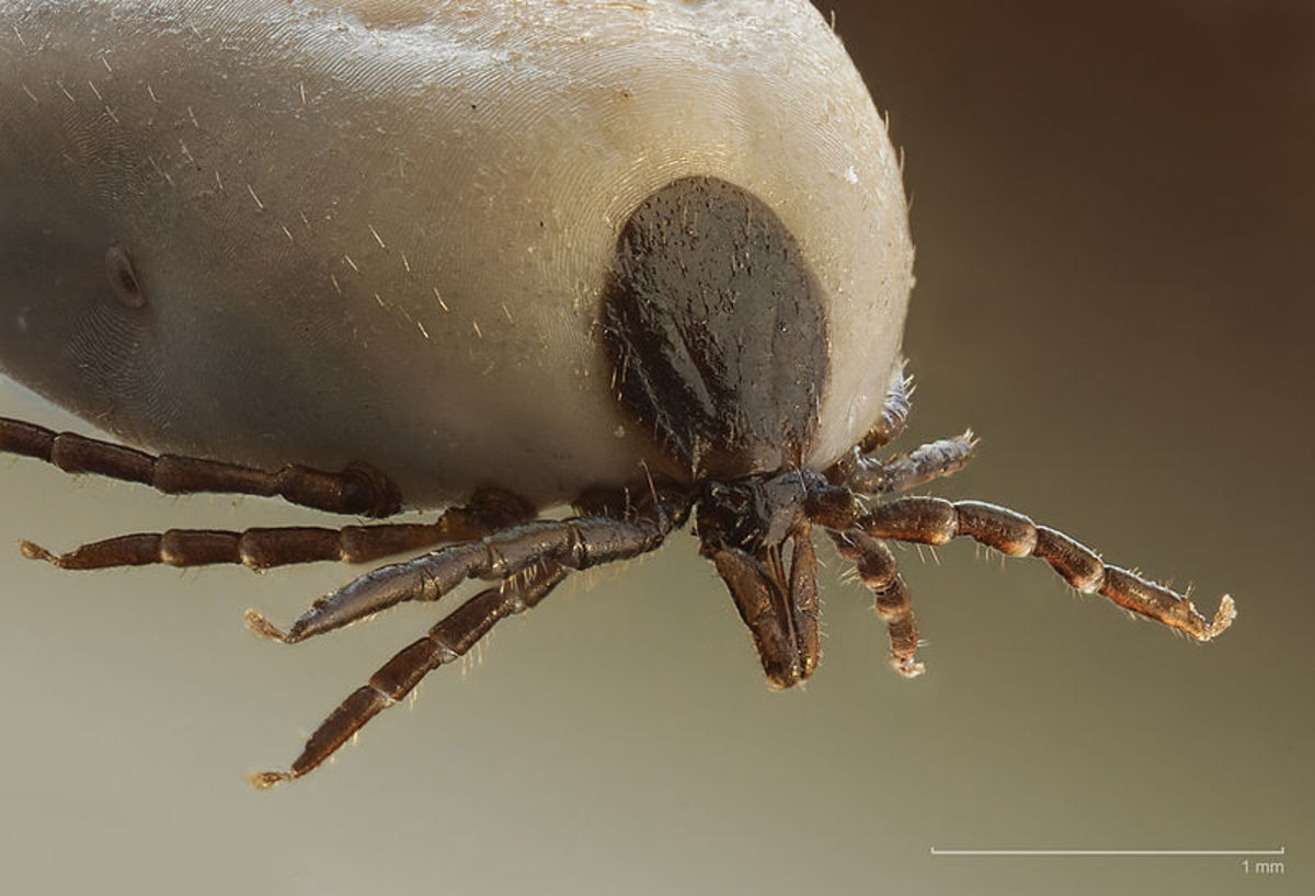 Ticks bury their heads into your skin and suck out your blood. As they suck the blood, their bodies become swelled and bloated. If you contract a tick, always seek medical advice.
