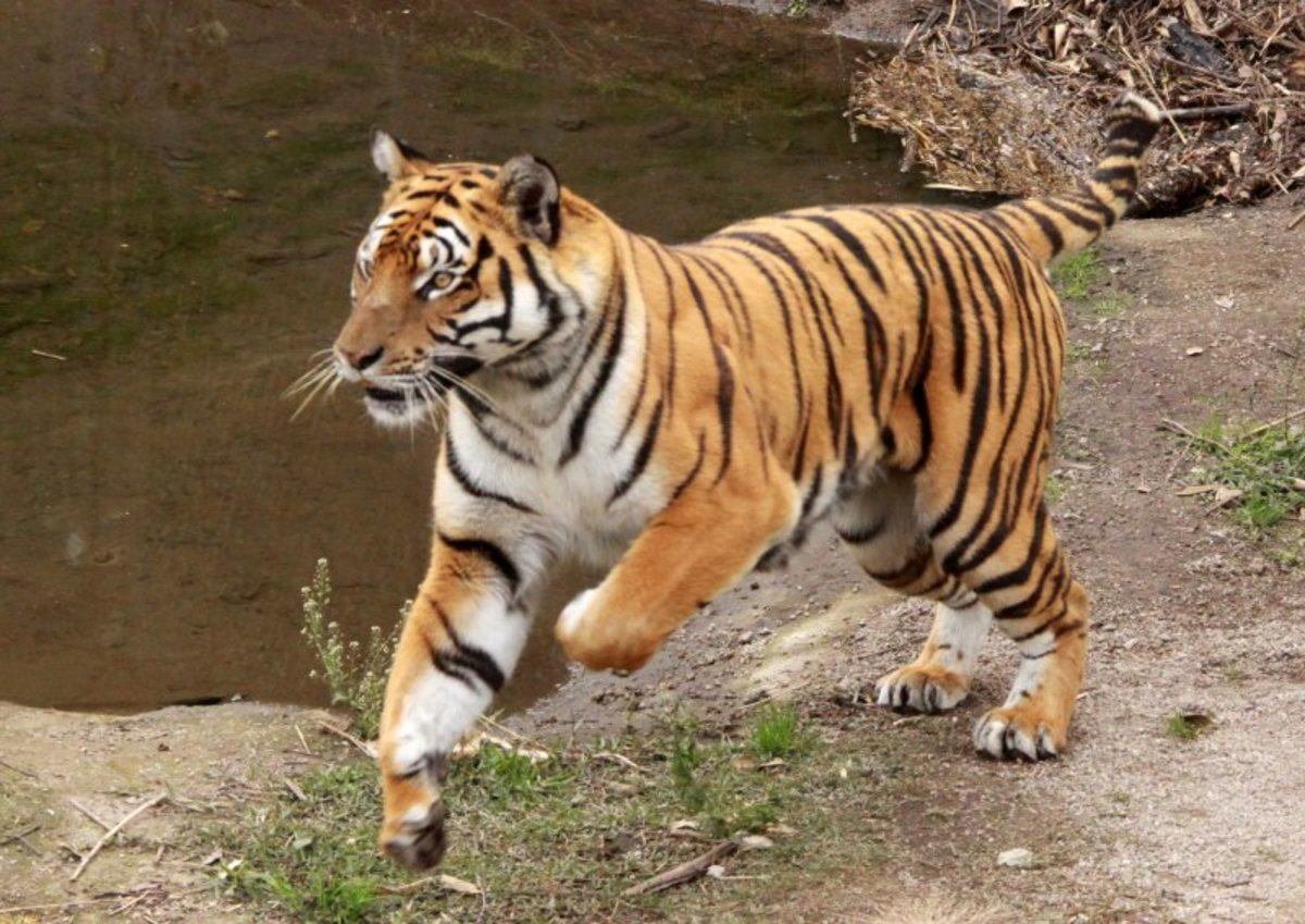 Amoy Tiger