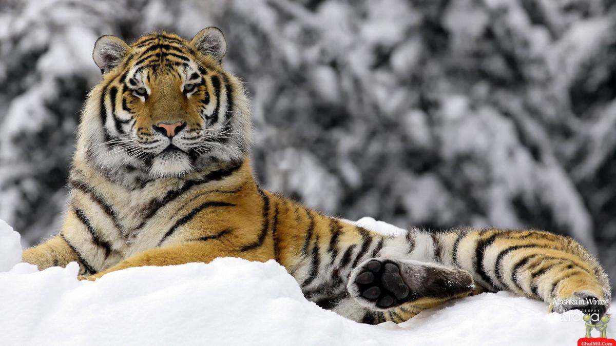 Siberian Tiger laying in snow.