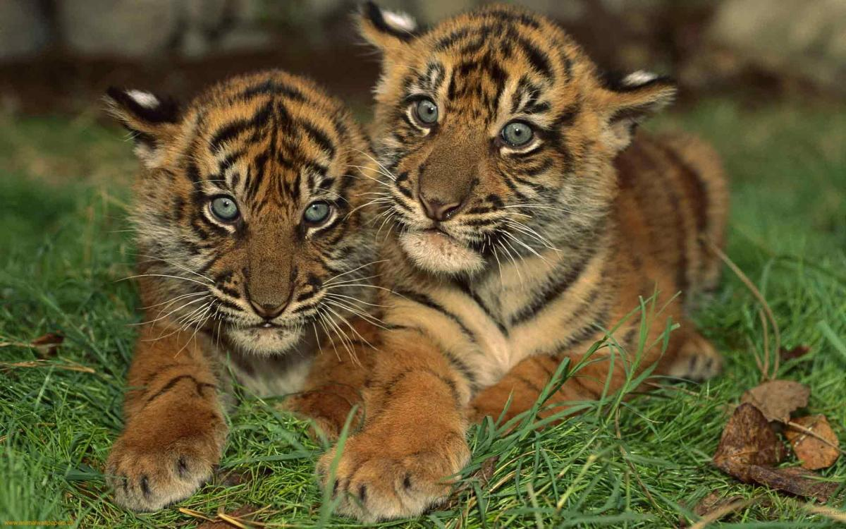 Cute baby Bengals
