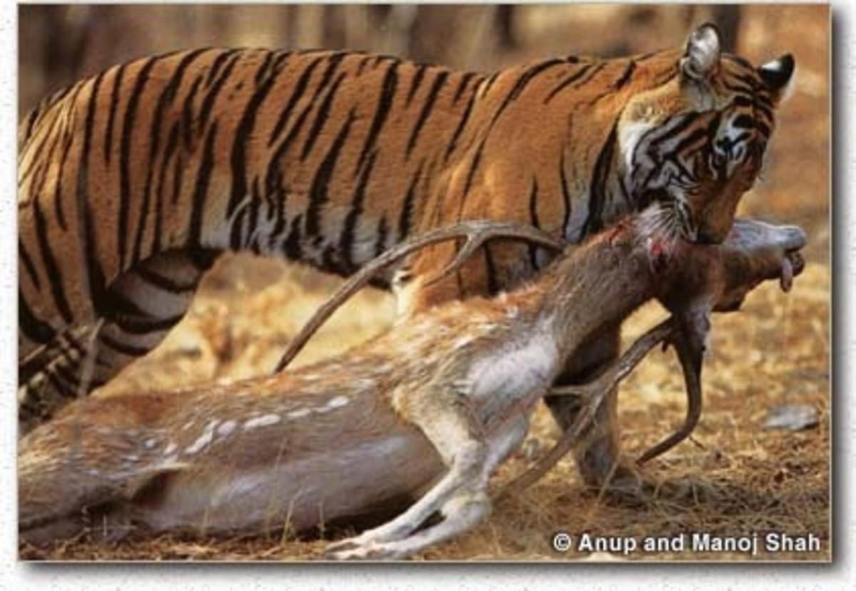 Bengal Tiger with a deer