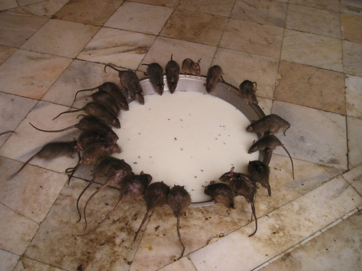 Rats feeding at Rajastan's Karni Mata Temple in India.  The impressive, isolated Hindu temple was built in the early 1900s as a tribute to the rat goddess, Karni Mata, by Maharaja Ganga Singh.  Over 20,000 rats are estimated to live there.