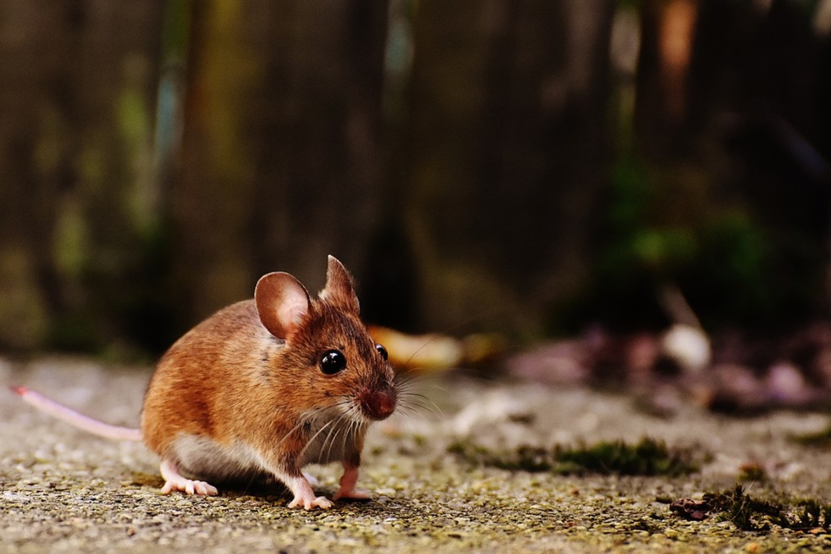 There are many different types of rat and mouse.  For the sake of argument, I am going to use the most common types encountered, namely the Norwegian (or brown) rat and the house mouse.