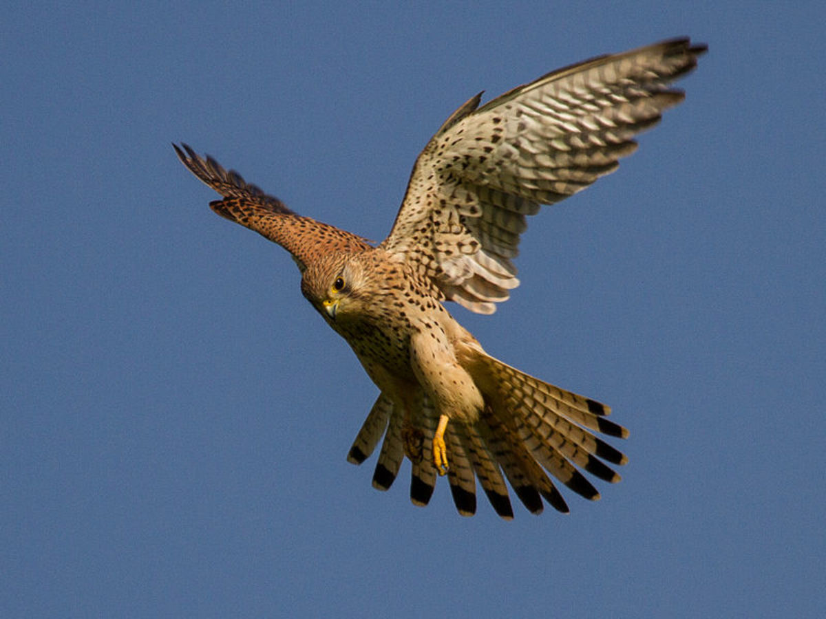 The Windhover is a kestrel, Falco tinnunculus.