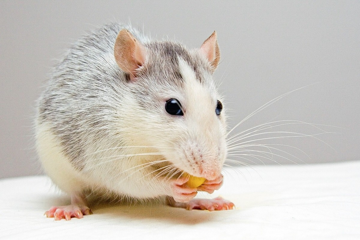 Embryonic stem cells have helped rats with symptoms resembling those of Parkinson's disease.