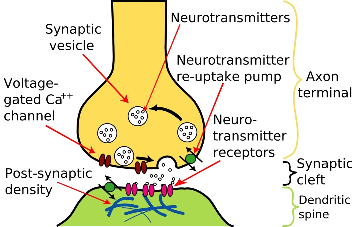 A synapse is the region where one neuron ends and another begins. When the first neuron is stimulated, neurotransmitter molecules travel across the gap to trigger a nerve impulse in the second neuron.