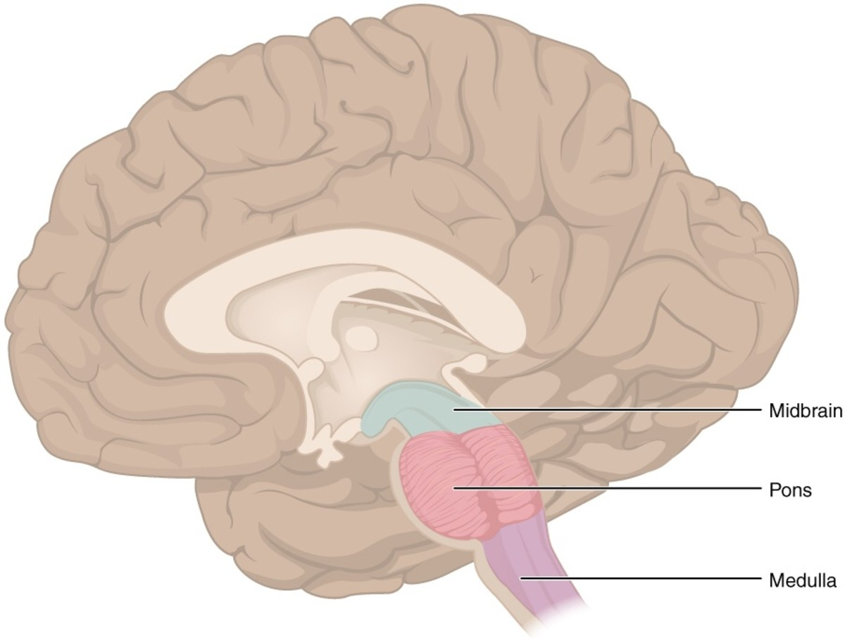 In this illustration the midbrain (location of the substantia nigra) is coloured in blue, the pons in red and the medulla oblongata in purple. The brainstem is continuous with the spinal cord.