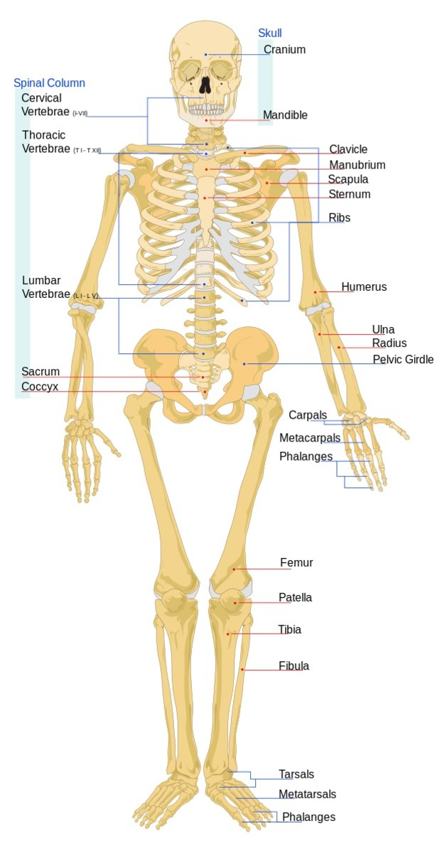 Bones in the human skeleton