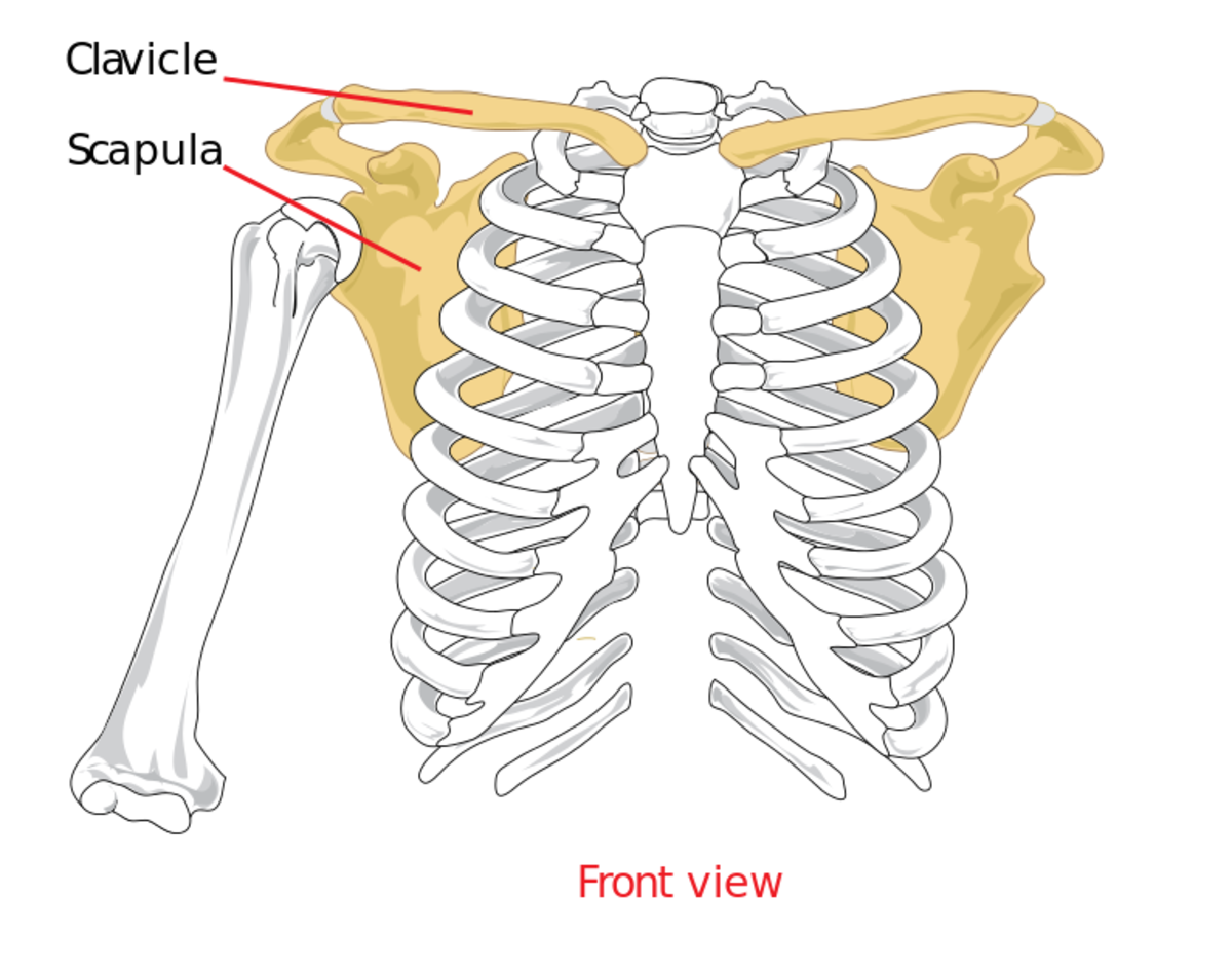 The outer part of the clavicle is joined to the acromium, an extension of the scapula. The inner part is connected to the sternum.