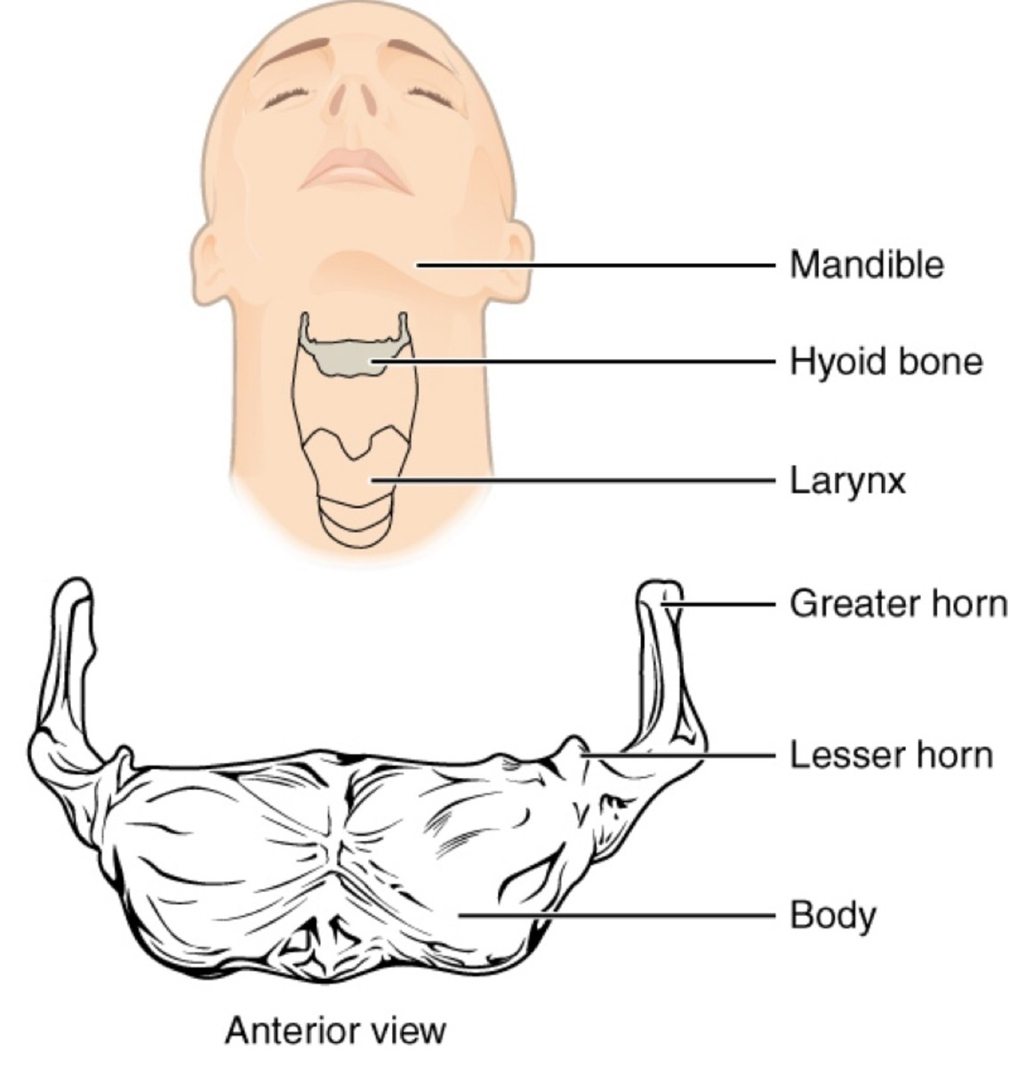 Location and shape of the hyoid bone