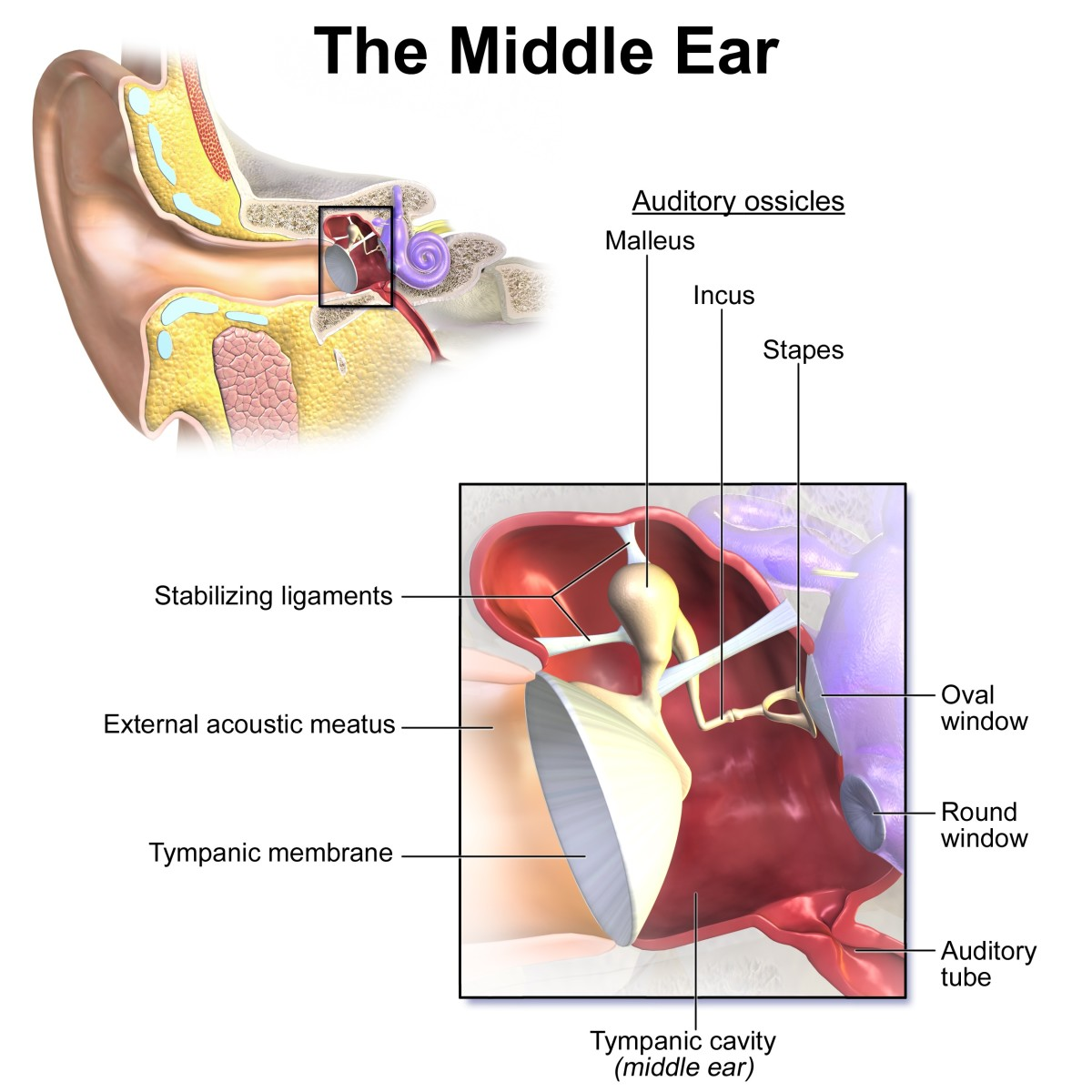The malleus (hammer), incus (anvil) and stapes (stirrup) in the middle ear are collectively known as ossicles.