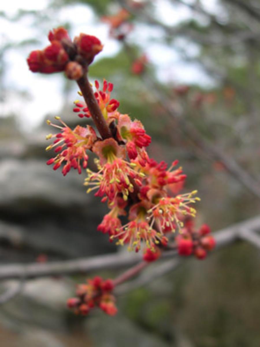 Red Oak Catkins in Full Bloom