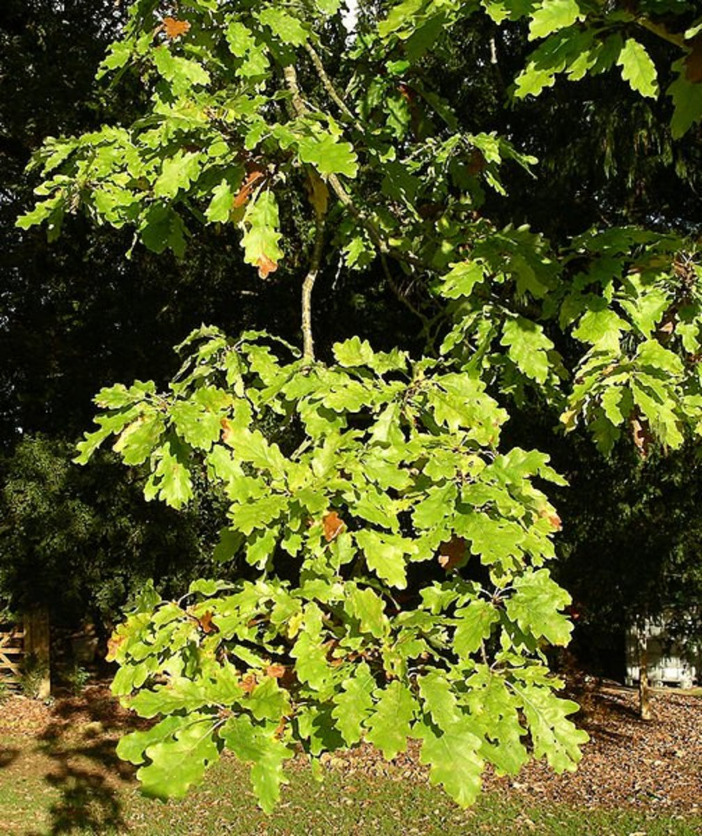 Leaves of the White Oak Tree