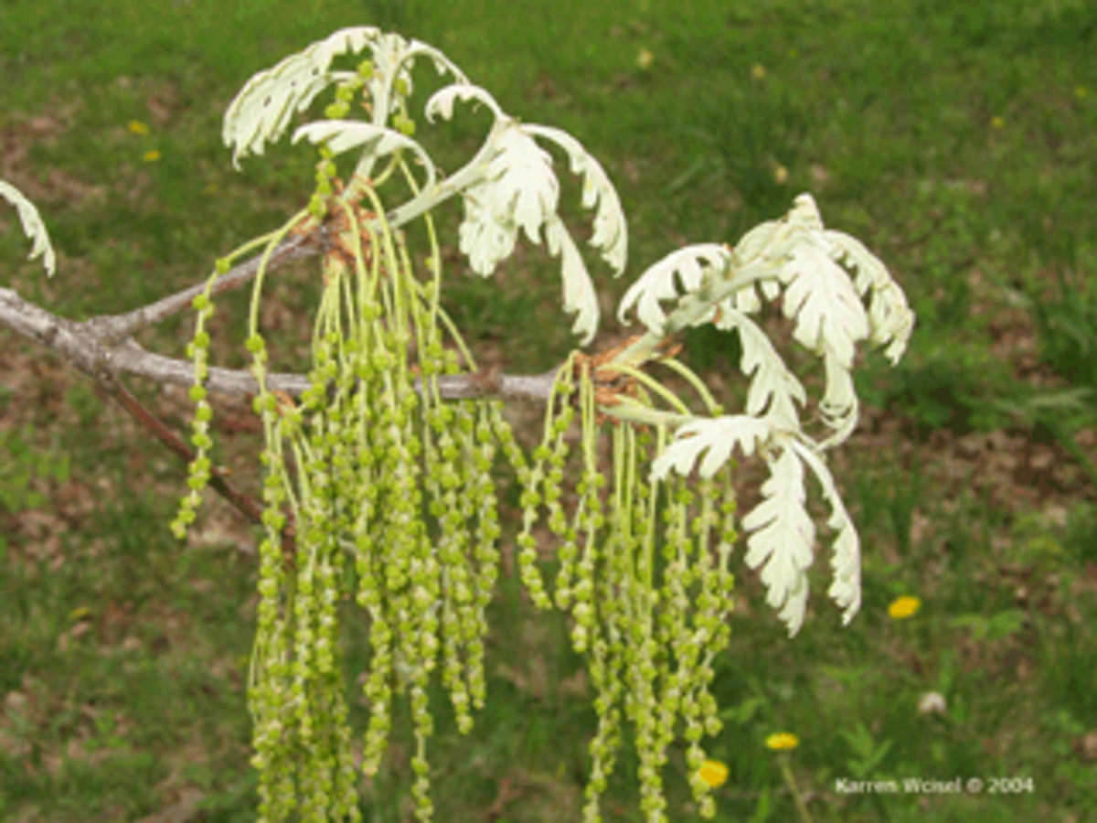 White Oak Male Flowers- Arranged in the form of catkins