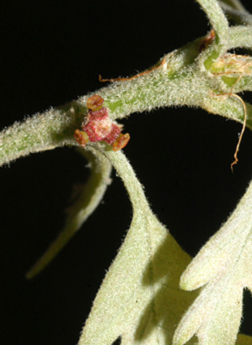 Female Flowers of Quercus alba
