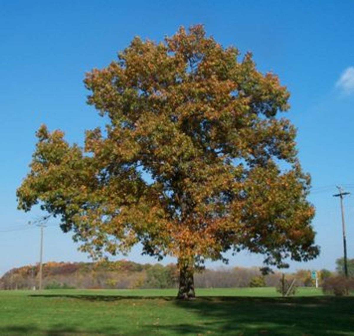 Balck Oak Tree