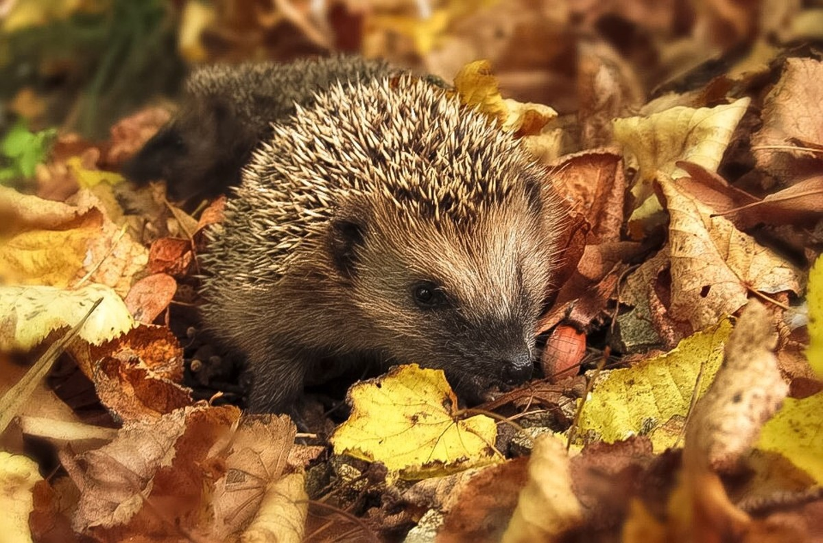 "A hedgehog in autumn; the name ""sonic hedgehog"" is indirectly related to this animal"