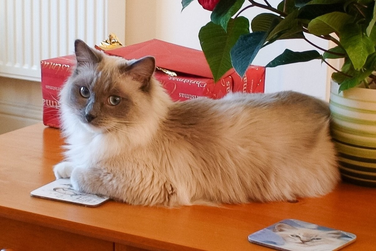 Louis is a young, single-faced Ragdoll cat. Frank and Louie was a Ragdoll, too.
