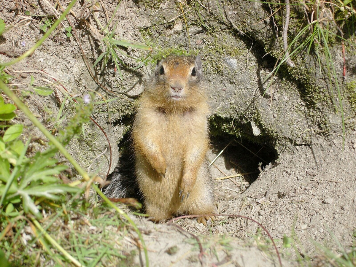 A Columbian ground squirrel in the Roger's Pass  area of Glacier National Park, British Columbia