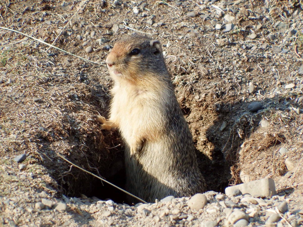 A ground squirrel beside the Lightning Lake day use parking lot