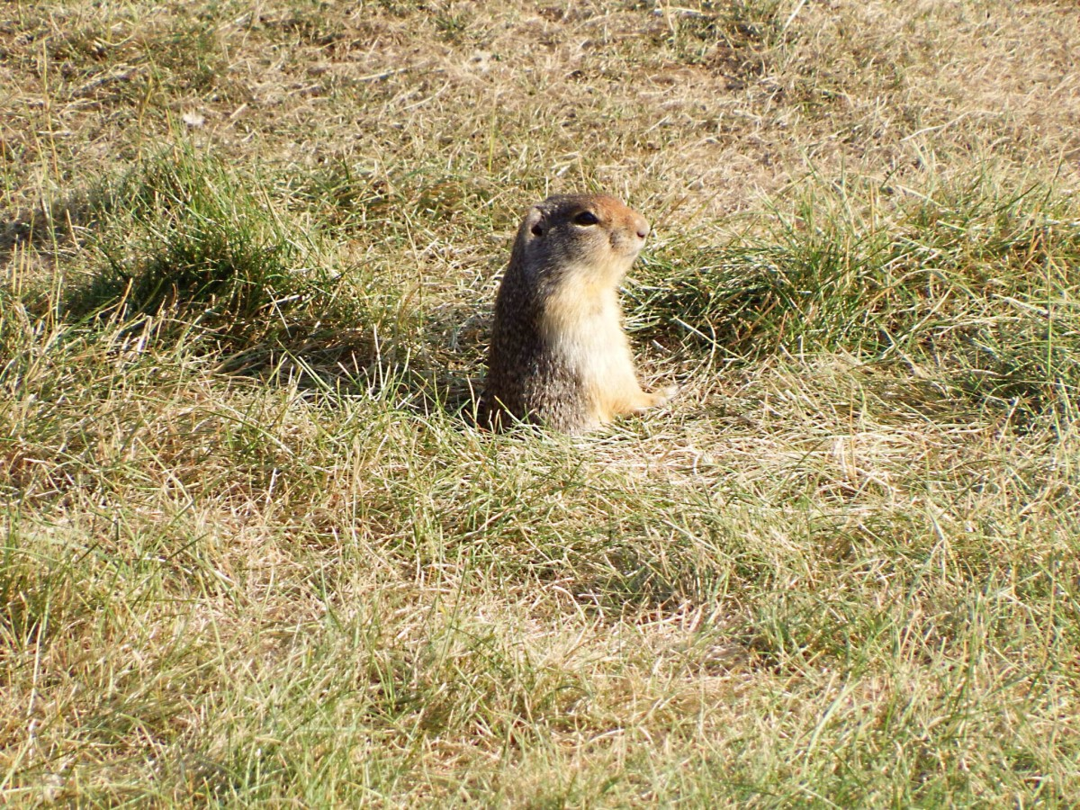 A ground squirrel beside the Lightning Lake parking lot in Manning Park