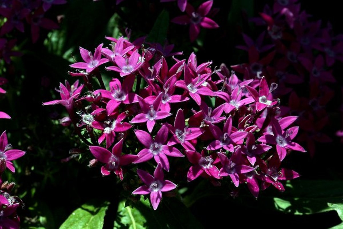 Pentas will give you prolific flower clusters and this variety is in deep purple .