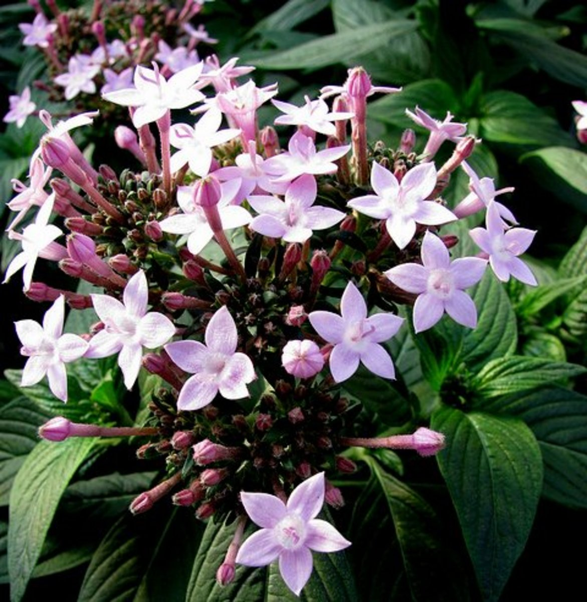 Pentas Northern Lights Lavender in soft lavender shade