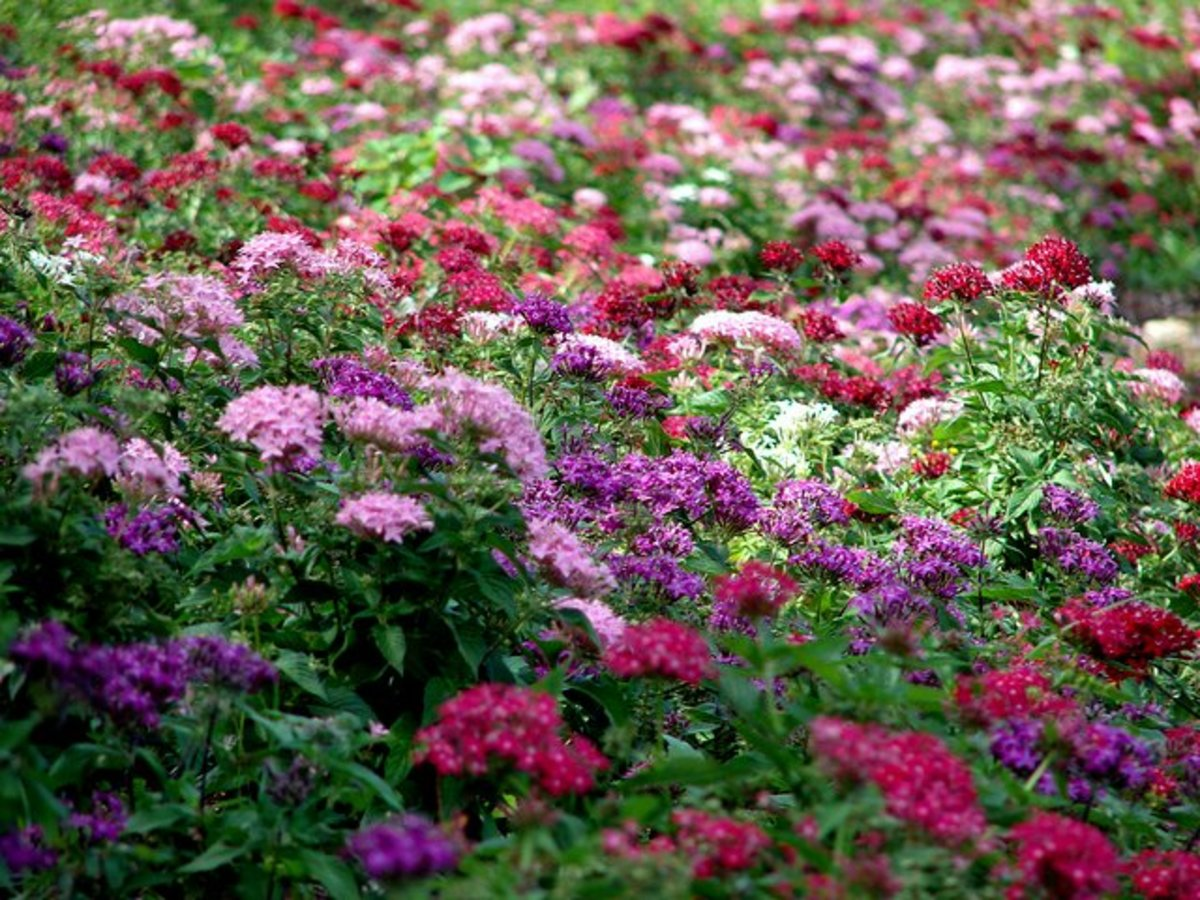 Pentas flowers in different colors for a stunning ground cover, which will double up as your medicine chest!