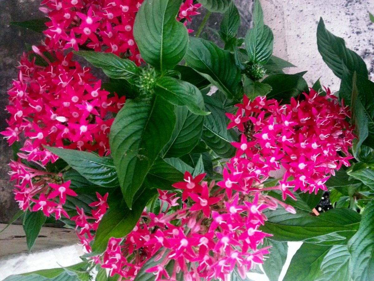 This is my red Pentas plant that is planted along the slope as ground cover and for slope protection. The red Pentas Flower is probably the most striking