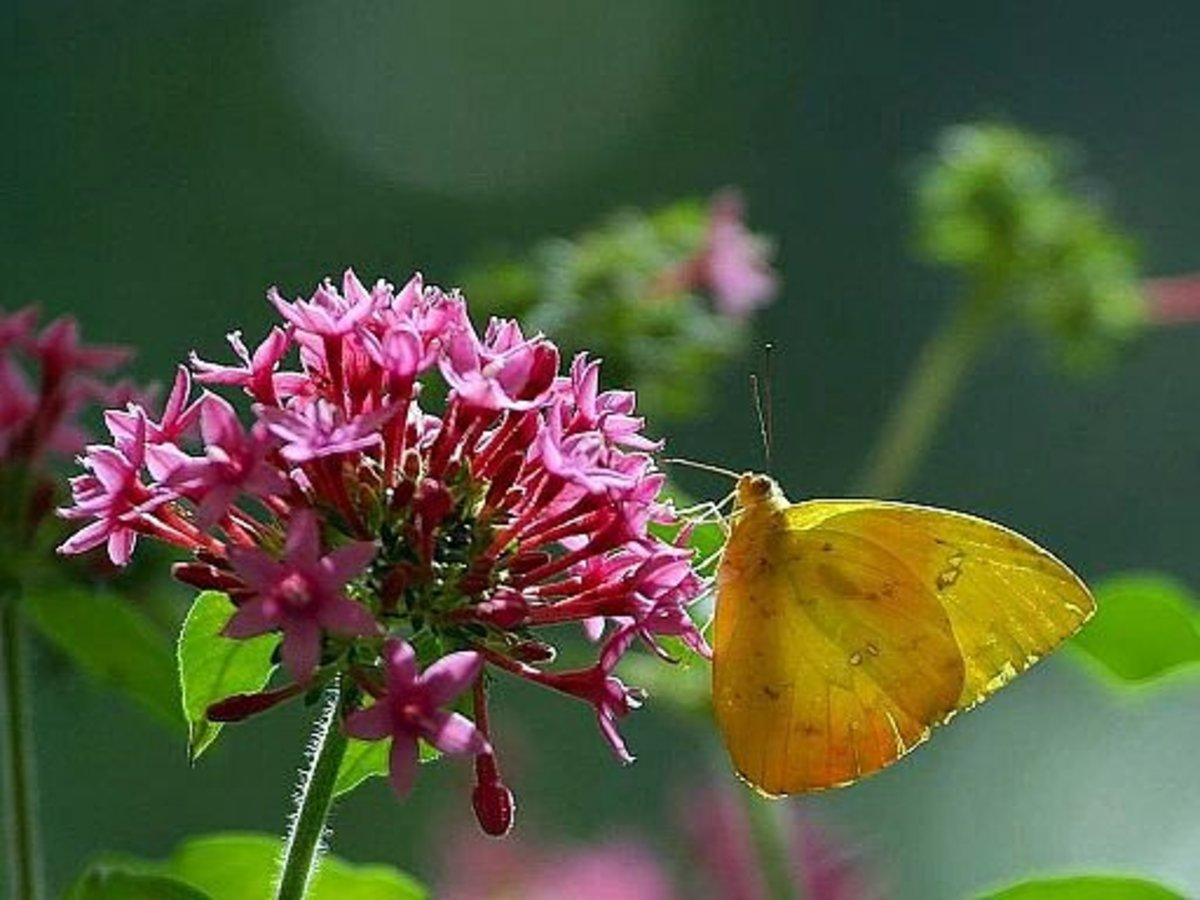 Pentas lanceolata plant (& its flower) is probably one of the best plants to attract butterfly and birds to your garden