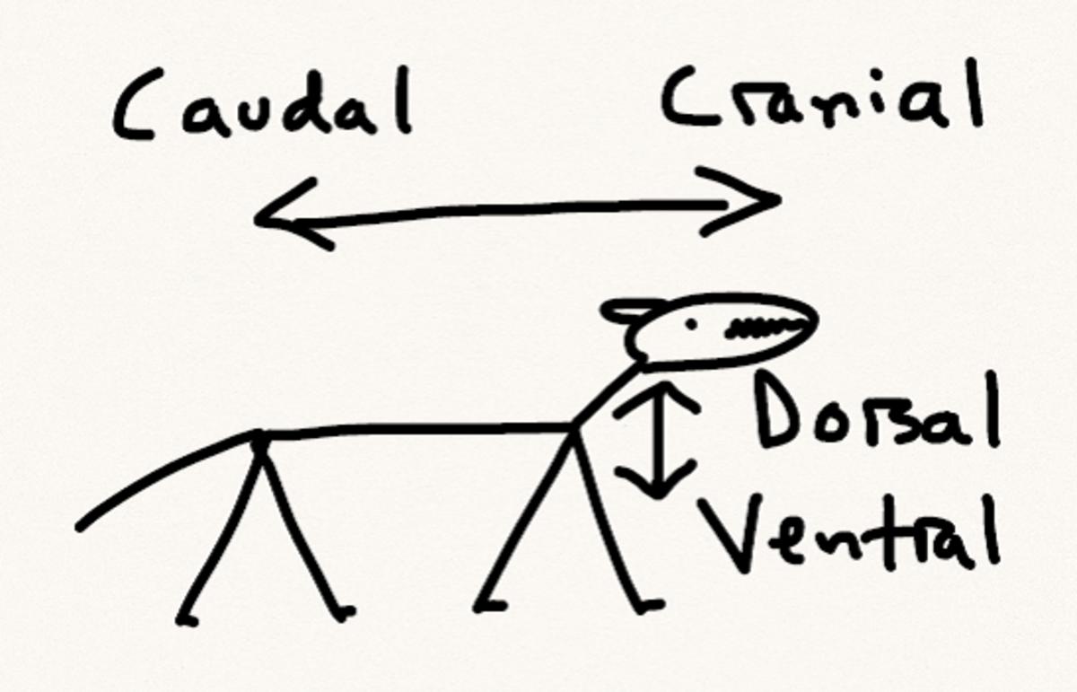 Quadruped anatomical position