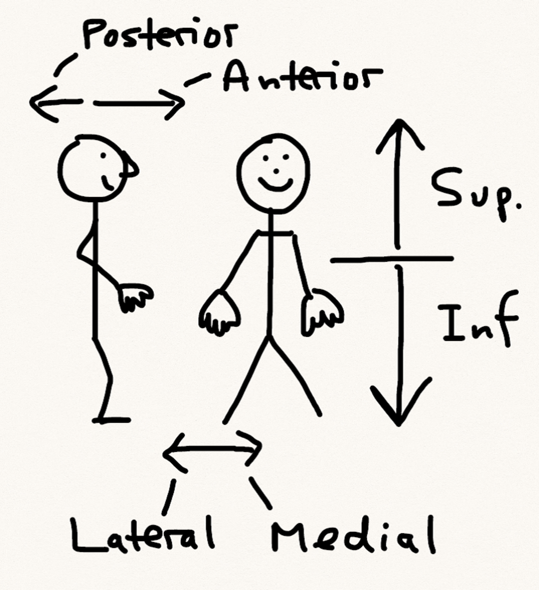 Anatomical terminology schematic