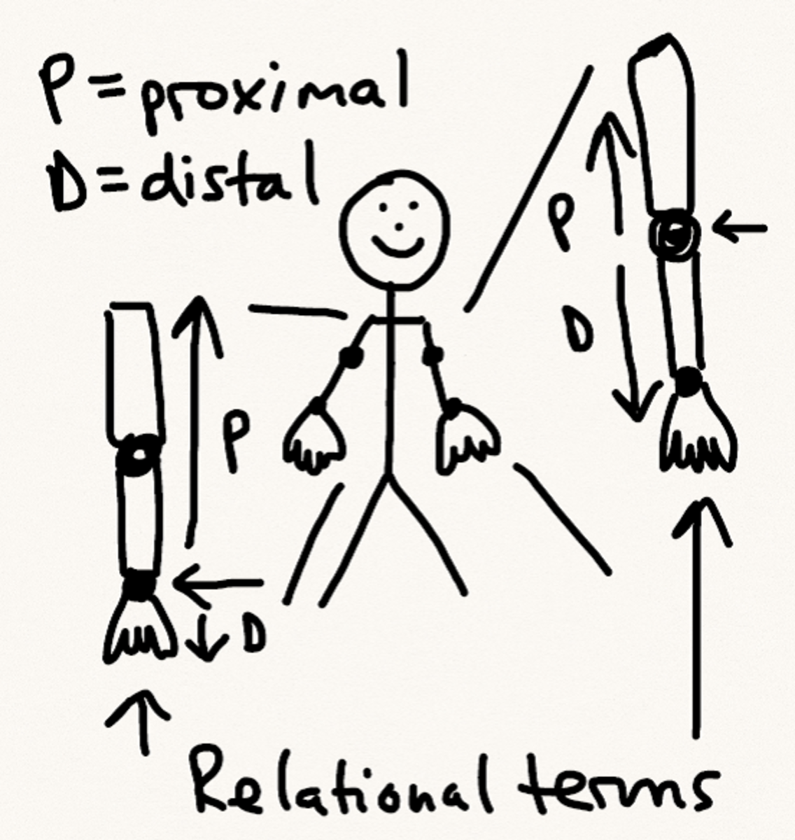 Proximal/distal schematic