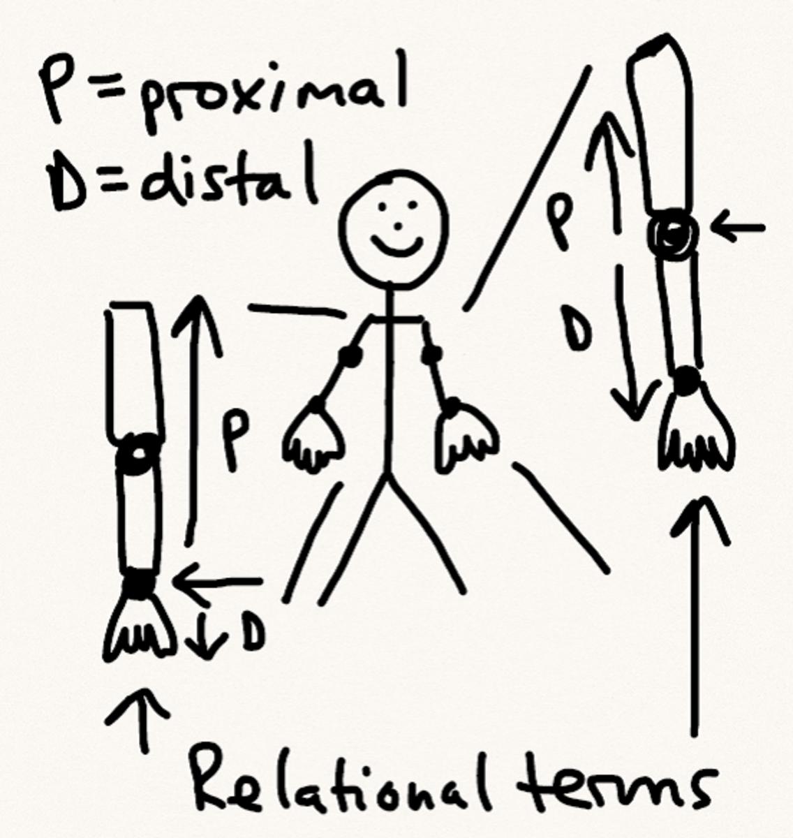 Proximal/distal schematic