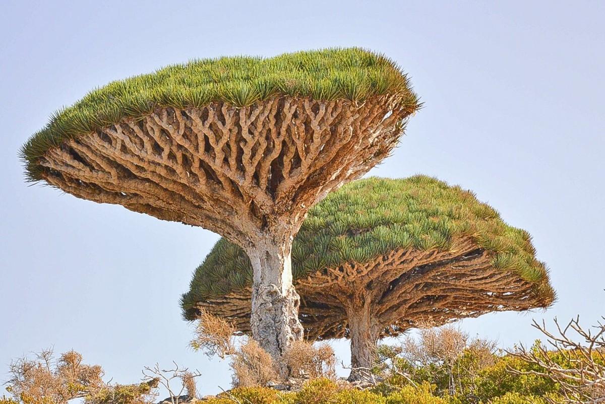 Dracaena cinnabari trees have interesting shapes.