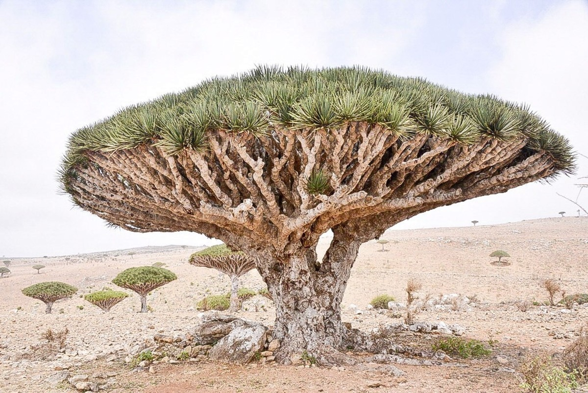 Another dragon blood tree
