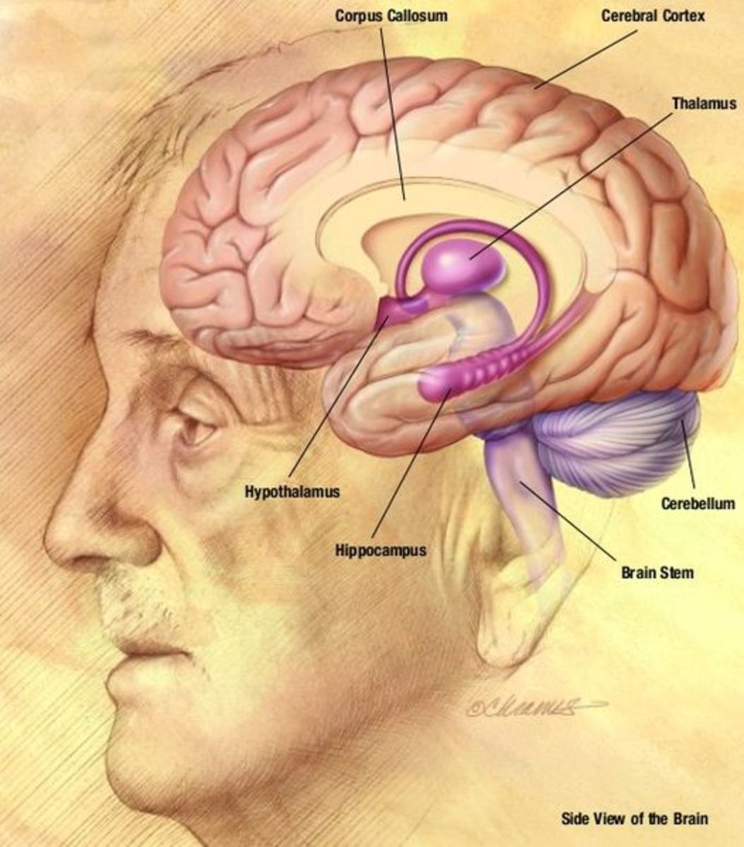 Labelled diagram of the human brain