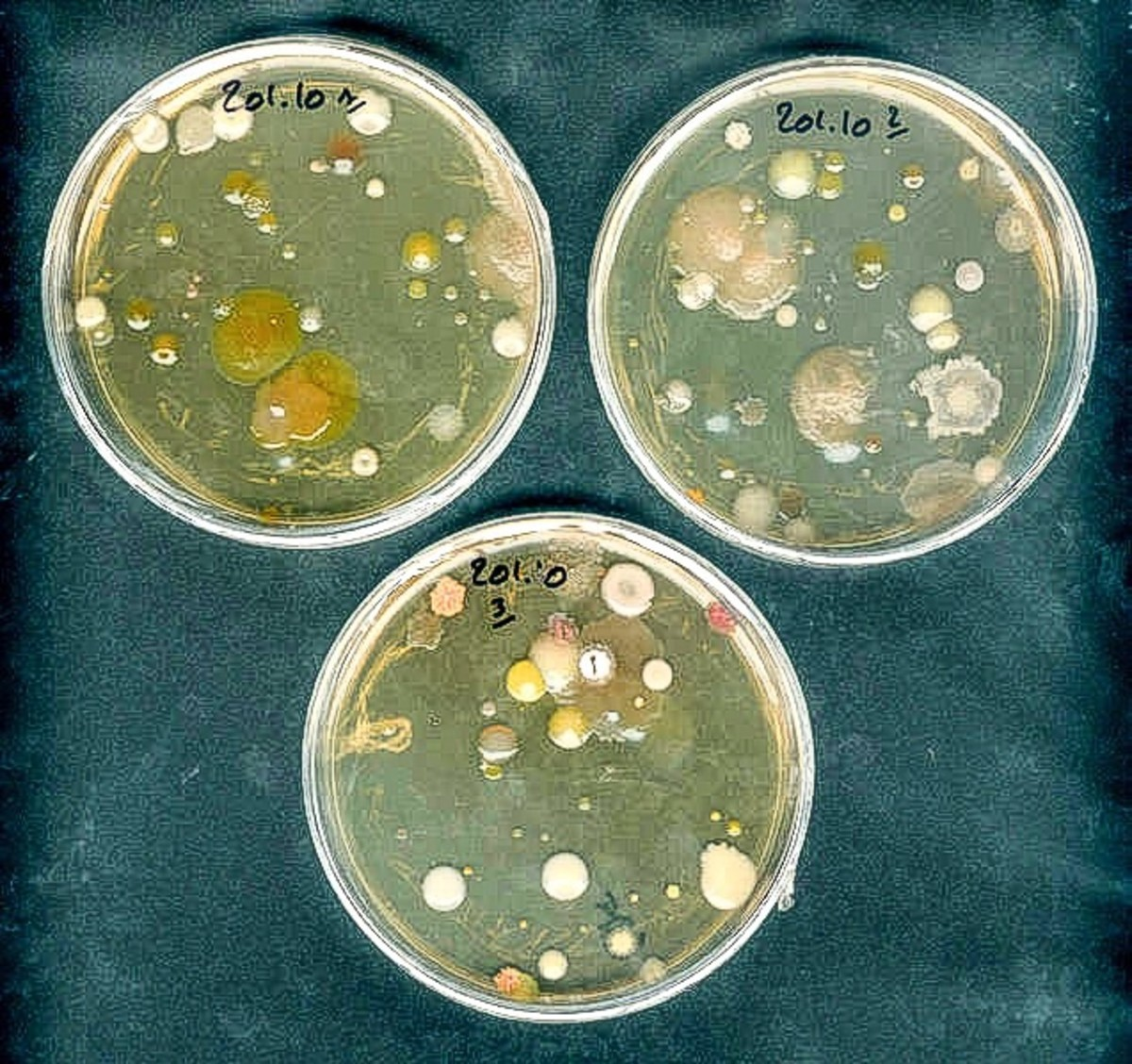 Cultures of soil bacteria growing in Petri dishes in a laboratory