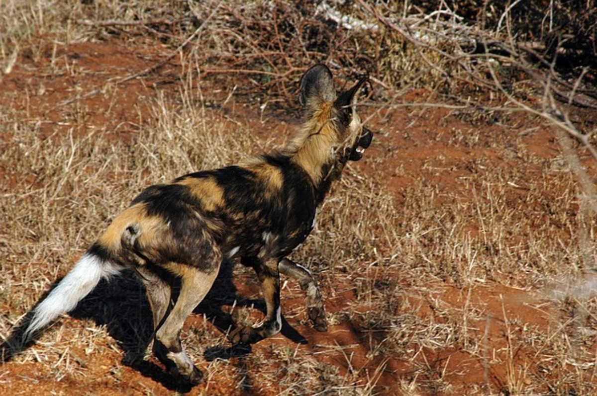 African wild dogs generally hunt by chasing their prey to exhaustion.  Consequently, they can sustain speeds of over 35 miles per hour over 3 miles.  As their name suggests, the dogs live in Sub-Saharan Africa.