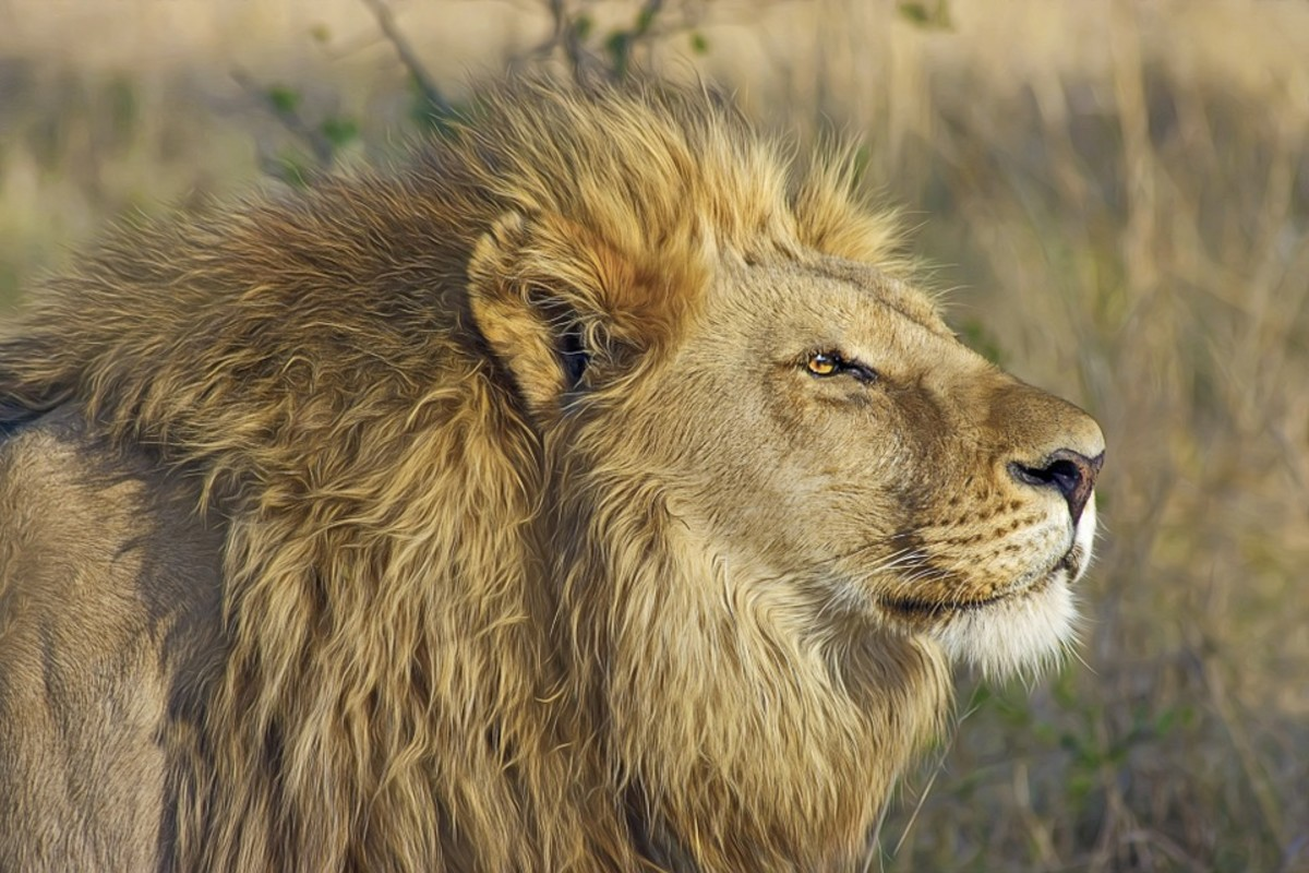 Lions are the second fastest big cat after the cheetah.  Like the cheetah, they can only manage fast speeds over short distances, however, and quickly become exhausted.