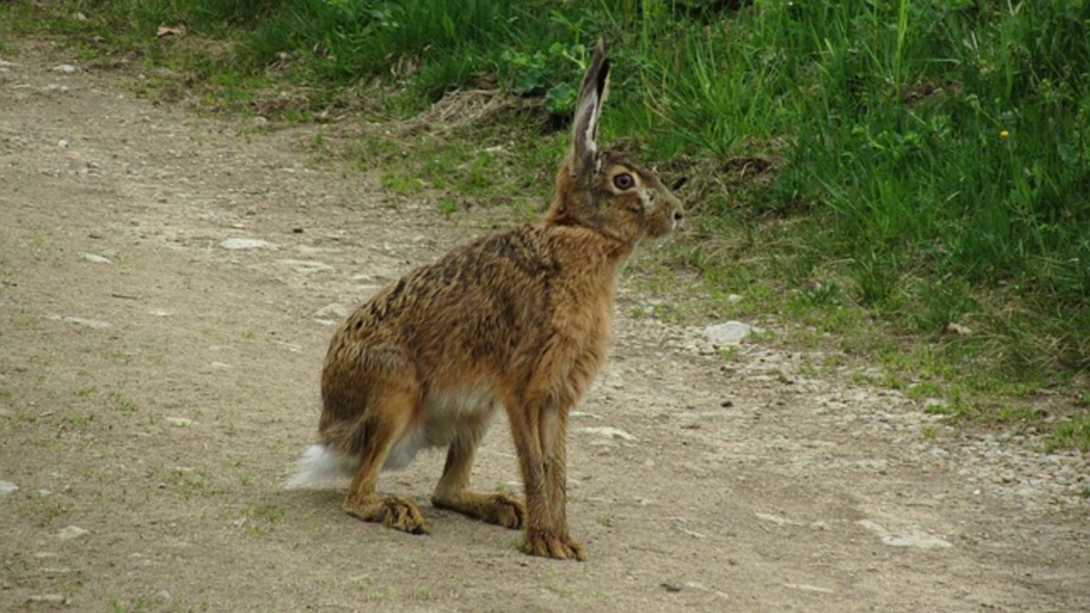 Jackrabbits are able to use their powerful hind legs to get out of danger.  They are able to achieve speeds of up to 45 mph over short distances.  They can also leap out of danger when they need to.