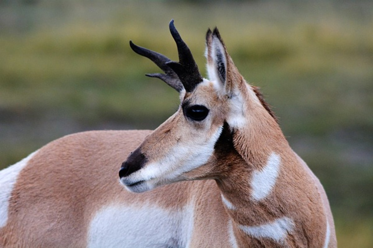 The pronghorn is not as quick as a cheetah over short distances, but over longer distances, it is unbeatable.  It is able to sustain 55 mph over half a mile and can outrun any potential predator in North America, where it lives.