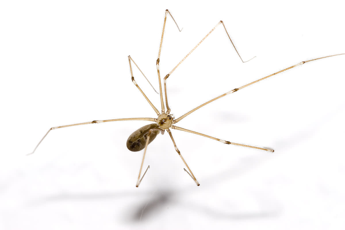 The cellar spider, or daddy long legs, usually spans about two inches.