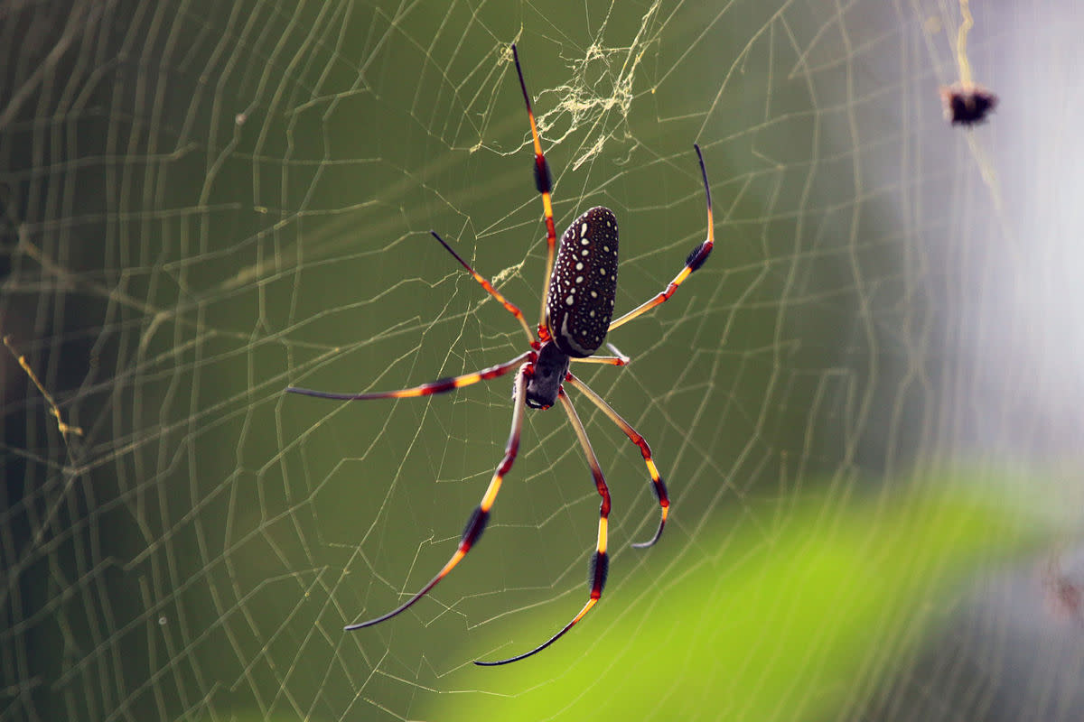 Golden silk orb-weaver spider (Nephila clavipes) female, Jamaica. These spiders are usually three inches across.