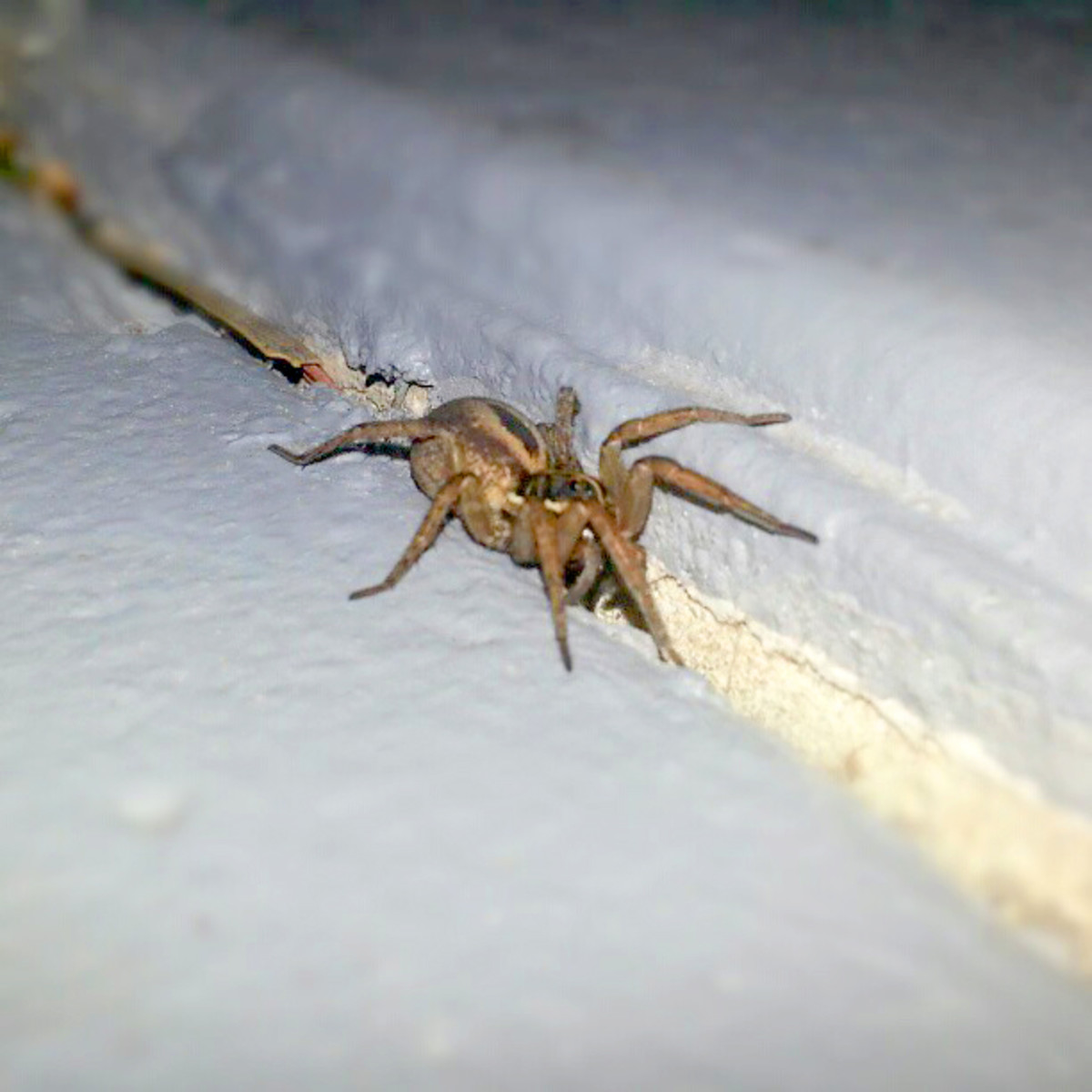A Wolf Spider in Delray Beach, Florida.  These spiders are large and hairy with thick legs.  They don't build webs, instead they capture their prey by running after them.  They will eat cockroaches and attack southern black widows.
