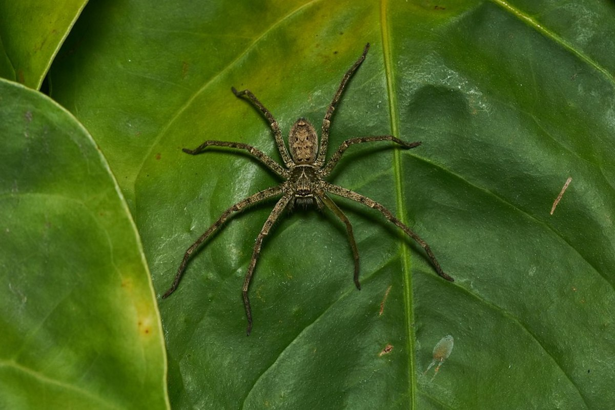 A Huntsman spider. This species can be up to six inches long.